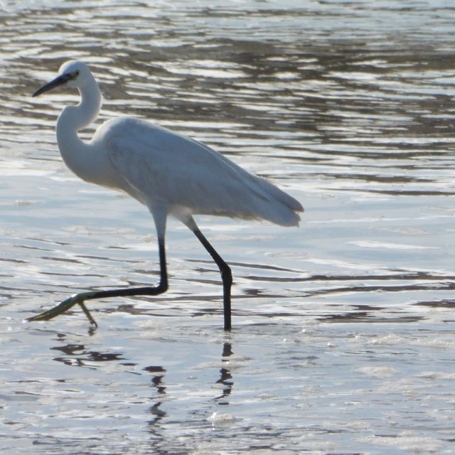 This is a little egret and looks quite similar to the cattle egret. You can tell them apart by their feet (yellow in the little egret and black in the cattle egret) and by the colour of their beaks (yellow in cattle and dark in the little egret)