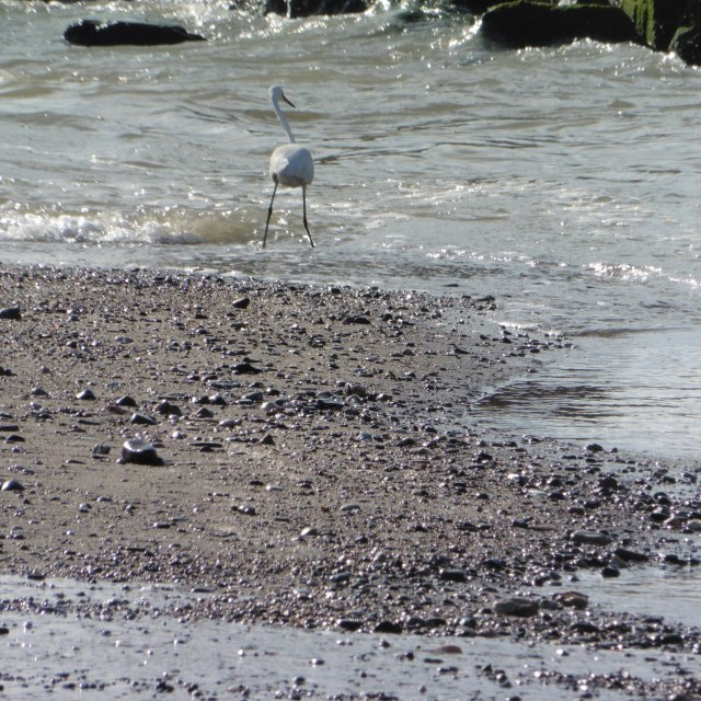 The little egret is much more closely associated with water and are often to be found on the river. This one is standing right at one of the the two places that the Guadalhorce enters the sea.